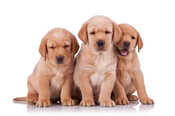 three adorable little labrador retriever