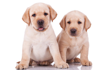 little labrador retriever puppies panting