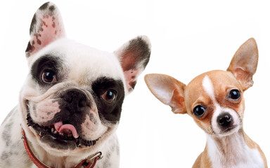 chihuahua and french bull dog