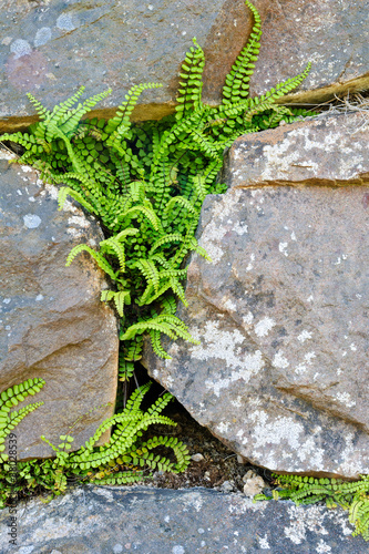 Spleenwort between rock wall