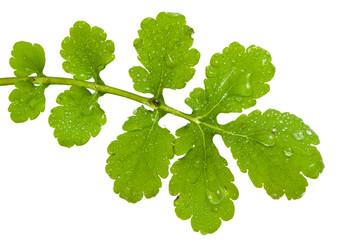 Leaf of celandine