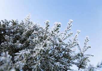 Coniferous tree with sharp prickles and snow-covered branches