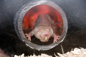 From the Hell - Naked mole rat (Heterocephalus glaber)