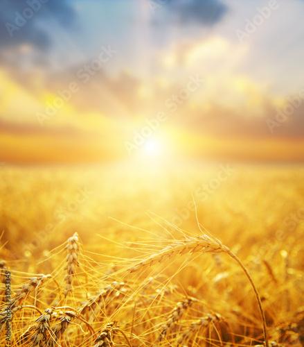 złote pola pszenicy i zachód słońca