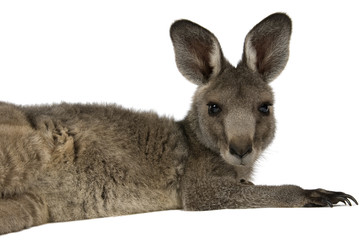 Eastern Grey joey kangaroo on white background