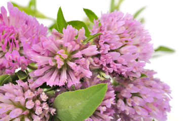 Bouquet of Red Clover Flowers