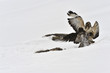 Buzzards (Buteo b.) fighting in the snow