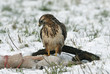 Buzzard (Buteo b.) feeding on a carrion