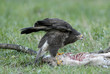 Buzzard (Buteo b.) feeding on a carrion