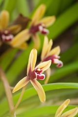 cymbidum finlaysonianum...orchid in Thailand