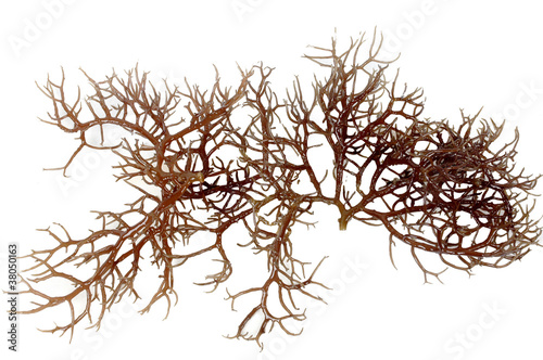 fresh dark brown seaweed - 38050163
