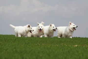 groupe de jeunes bergers blancs en course