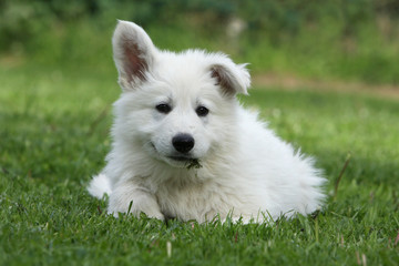 stranges ears of the young white swiss shepherd dog