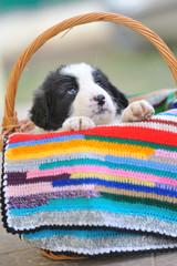 shepherd romanian dog