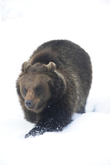 Bär trabt  im  Schnee