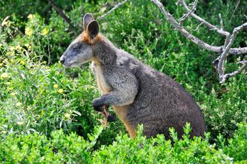 Wallaroo or Euro, Griffiths island, Port Fairy, Australia