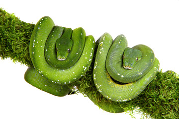 Snake ,Schlange ,Boa,Python,morelia viridis
