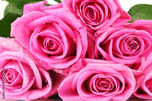 Many pink roses with water droplets closeup
