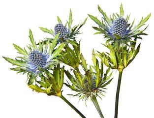 Eryngium alpinum thistle flower