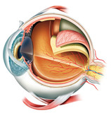 Fototapety Anatomy of the eye