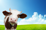Fototapety cow and field of fresh grass