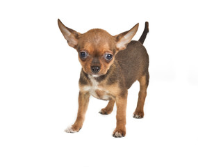 chihuahua puppy (3 months) in front of a white background