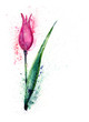 Watercolour -Pink Tulip-