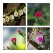 rose, fleur, rosier, roses, roseraie, jardin, jardinage