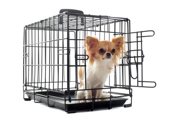 chihuahua en cage