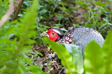 Pheasant Male Hiding in Foliage