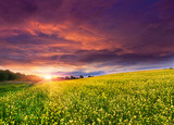 Fototapety Summer Landscape with a field of yellow flowers. Sunset