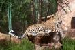 Male leopard (Panthera Pardus) rests