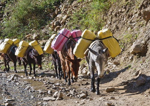 Donkey caravan in mountains of Nepal