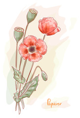 Red poppy (Papaver). Watercolor style.