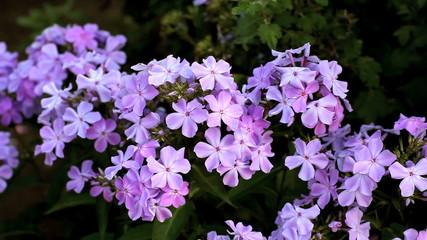 flowers phlox