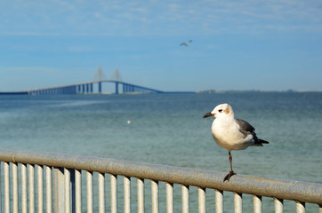 Sunshine Skyway and a one legged Seagull
