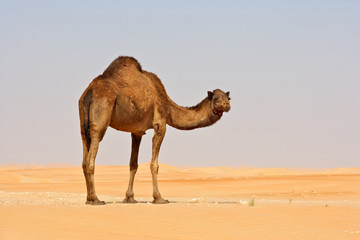 Empty Quarter Camel