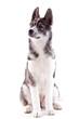 jeune chienne husky de 4 mois