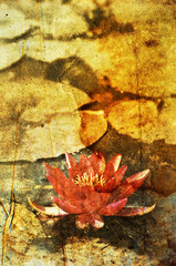 faded water lily