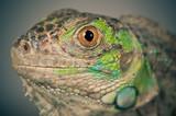 green iguana snout