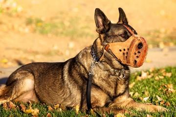 Muzzled Shepherd