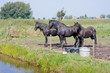 Three black horses in a Dutch meadow