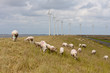 Grazing sheep at a dike with large windturbines in the Netherlan
