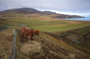 Rural scene in Scotland with cows