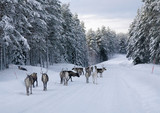 Reindeer on the road in northern Sweden in winter