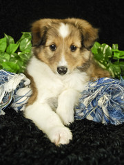 Sheltie Puppy