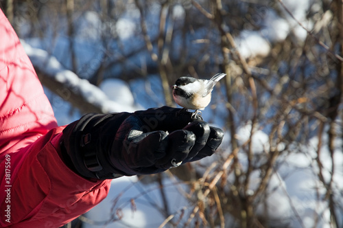 Chickadee feeding off a glove