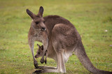 Kangaroo Female with Baby Joey in Pouch