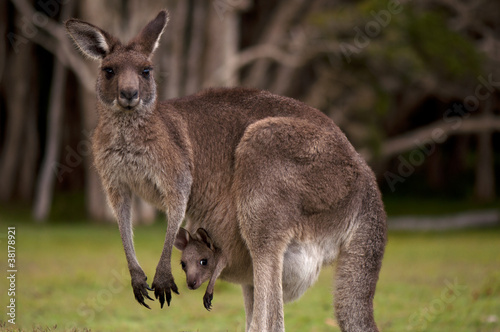 Papiers peints Kangaroo Kangaroo Mom with Baby Joey in Pouch