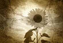 Vieille photo - Le Tournesol